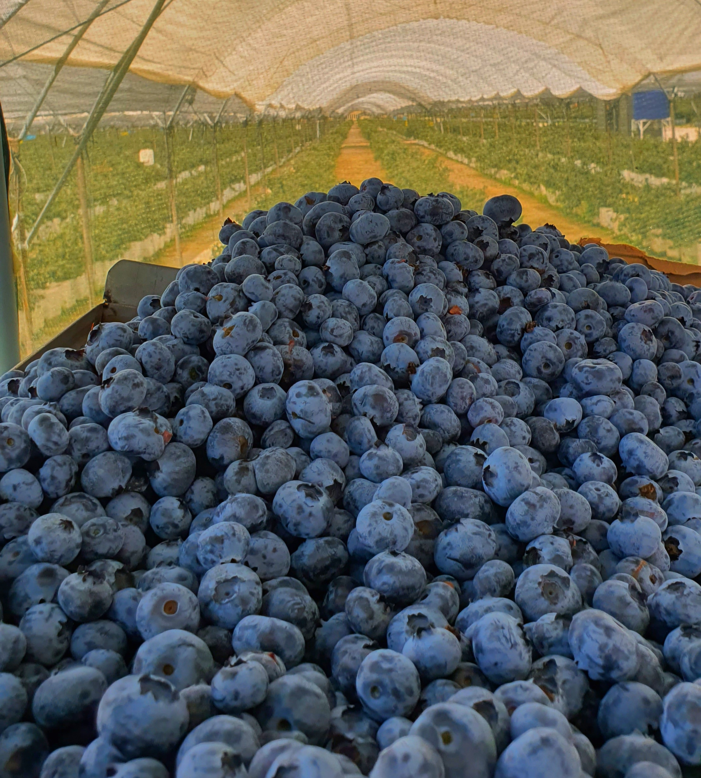 Blueberry – Supercharged calcium for a super fruit