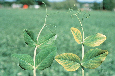 Problems with manganese deficiency?